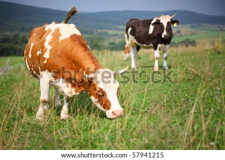 Cows on a pasture on a green grass - stock photo