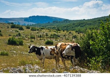 Cows on a pasture, Panoramic view of Pešter plateau landscape in southwest Serbia - stock photo
