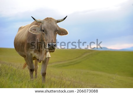 Cows on a summer meadow in mountains