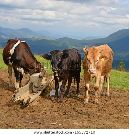Cows on a summer mountain pasture - stock photo