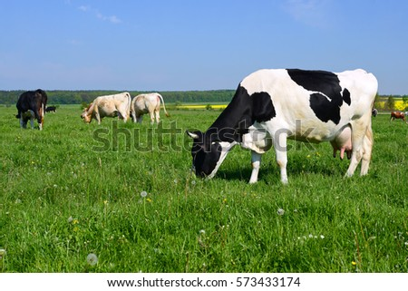 pictures of cows to