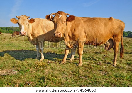 Cows on a summer pasture. Cows on a summer pasture in a summer rural landscape