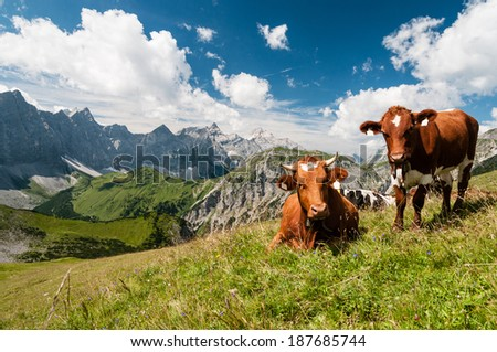Cows on alpine meadow, in the background the Karwendel mountains  - stock photo