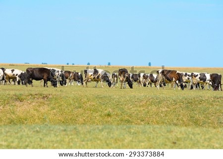 Cows on field. Cows are raised as livestock for meat (beef and veal), as dairy animals for milk and other dairy products. - stock photo