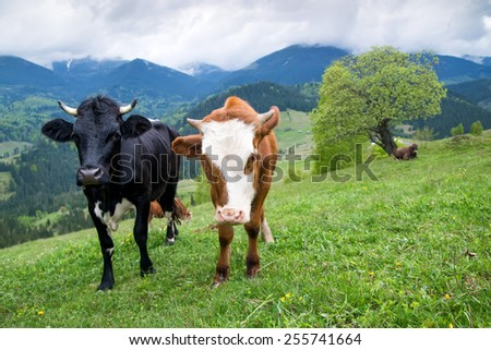 Cows on field. Farm animals - stock photo