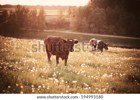 Cows on green grass with dandelions - stock photo