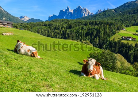 Cows on green meadow in alpine valley in Santa Maddalena village, Val di Funes, Dolomiti Mountains, Italy  - stock photo