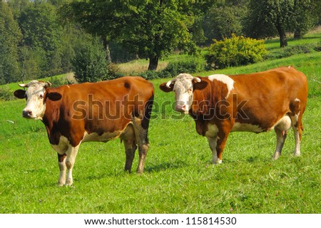 Cows on green meadow. Rural scenery in Bavaria, Germany. - stock photo