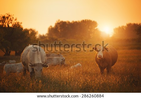 Cows on pasture - stock photo