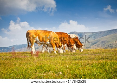 Cows on pasture in ecological environment, Zlatibor mountain, Serbia. - stock photo