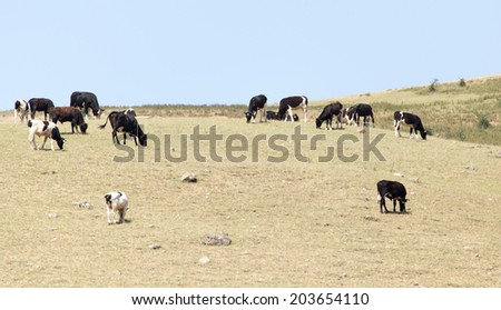 cows on pasture in nature - stock photo