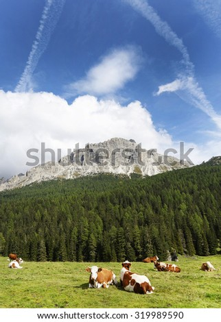 Cows on pasture near Misurina lake ,Italy,September 2015. - stock photo