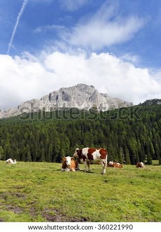 Cows on pasture near Misurina lake ,Italy,September 2015. - stock photo
