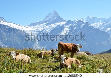 Cows on the Alpine meadow. Jungfrau region, Switzerland - stock photo