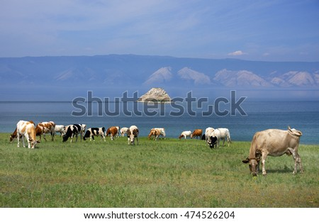 Cows on the shore of Baikal Lake, Russian Federation