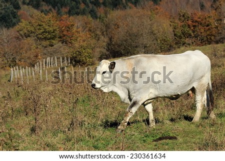 cows produced typical white romagnola Romagna Italy