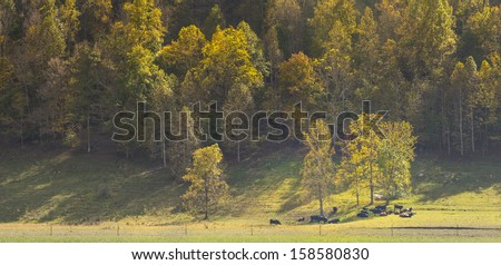 Cows Resting Under Trees - stock photo