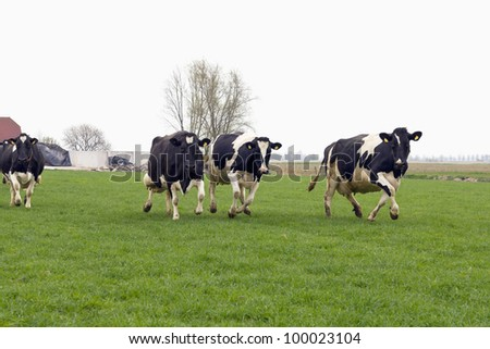cows running and jumping happy out of winter stable into grassland - stock photo