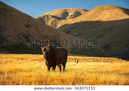 Cows stand on a meadow in New Zealand