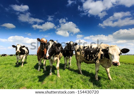 Cows standing in a grassland in Holland on a sunny day - stock photo