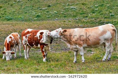 Cows standing like in tenderness on green grass. - stock photo