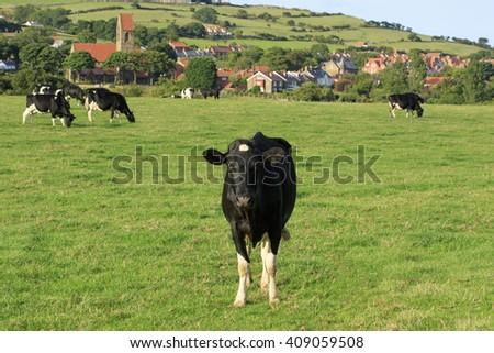 Cows standing on farmland - stock photo