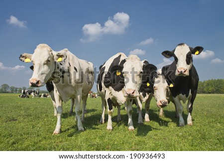 cows standing outside in a Dutch meadow