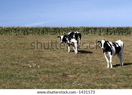 cows staring at the photographer