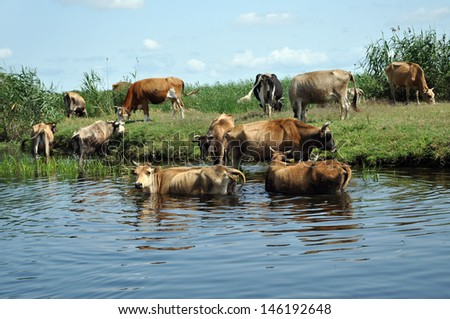 Cows taking a bath in the river. Danube delta, Romania - stock photo