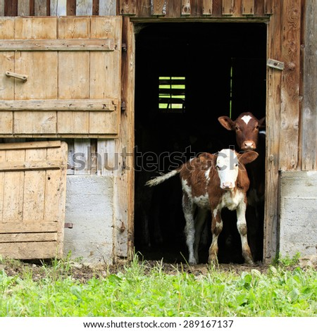 Cows, two young calves looking out of a barn