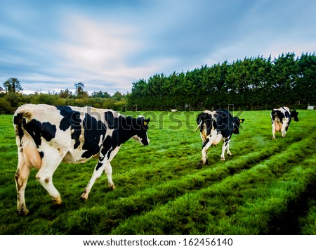 Cows walking through a green field under a blue sky
