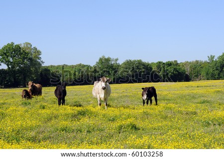 cows walking toward camera over field of wildflowers - stock photo