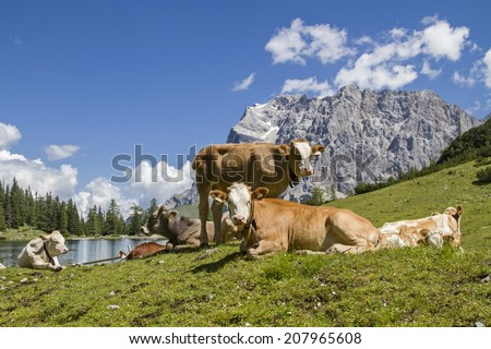 Cows with calf on a meadow at Seebensee lake in Tyrol - stock photo