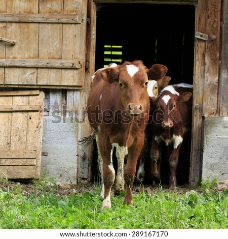 Cows, young calves walking out of a barn - stock photo