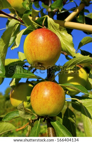 Cox's Orange Pippin apples ripening on a tree branch. - stock photo