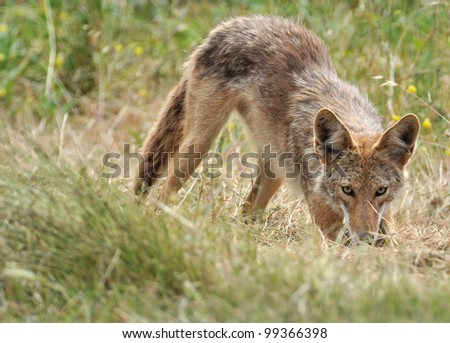 Coyote after the Pounce - stock photo