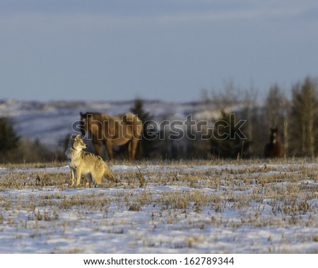 Coyote and Horse - stock photo
