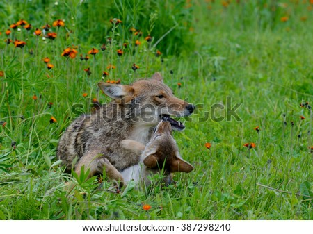 Coyote and pup laying in field of green grass and wildflowers. - stock photo