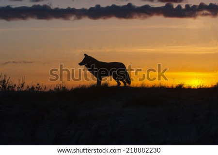 Coyote at sunset - stock photo