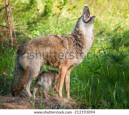 Coyote (Canis lantrans) Howls while Pups Scampers Underneath - captive animals - stock photo