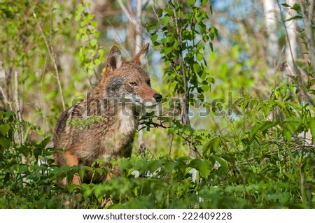 Coyote (Canis latrans) Amongst the Weeds - captive animal - stock photo
