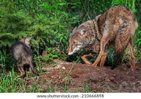 Coyote (Canis latrans) and Pup Stand Off - captive animals - stock photo