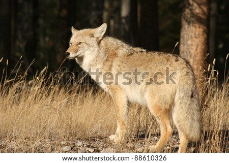 Coyote (Canis latrans) in Jasper National Park, Alberta, Canada - stock photo