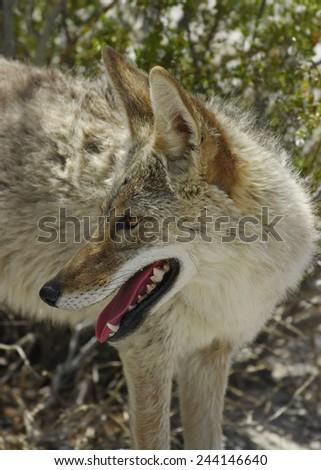 Coyote (Canis latrans) in the California desert. - stock photo