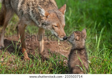 Coyote (Canis latrans) Nose Touch - captive animals - stock photo