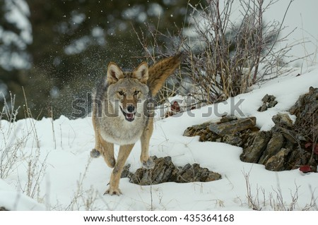 Coyote (Canis latrans) - Running - stock photo