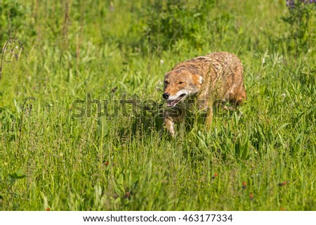 Coyote (Canis latrans) Runs Left in Field - captive animal