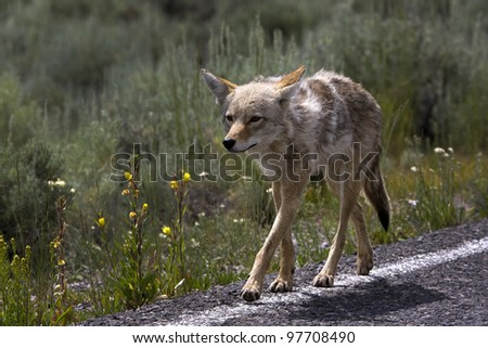 coyote (Canis latrans) walking along the road in Yellowstone National Park, Wyoming - stock photo