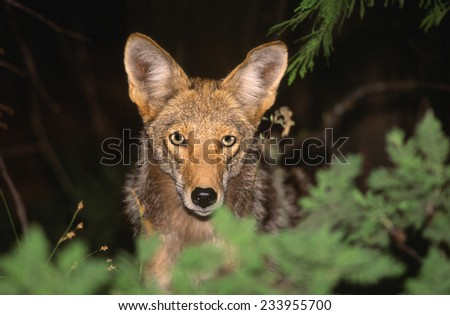 coyote canis latrans yellowstone national park wyoming usa north america - stock photo