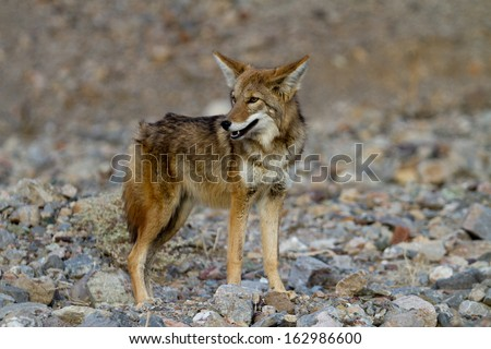 coyote death valley - stock photo